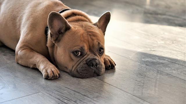 bulldog-frances-durmiendo